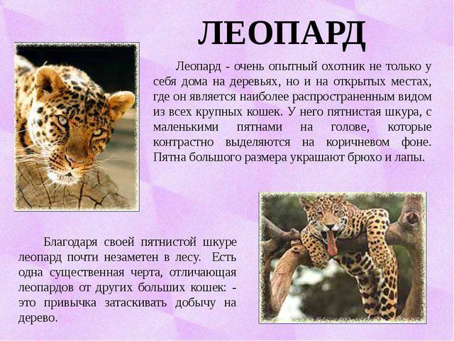 ЛЕОПАРД Леопард - очень опытный охотник не только у себя дома на деревьях, н...