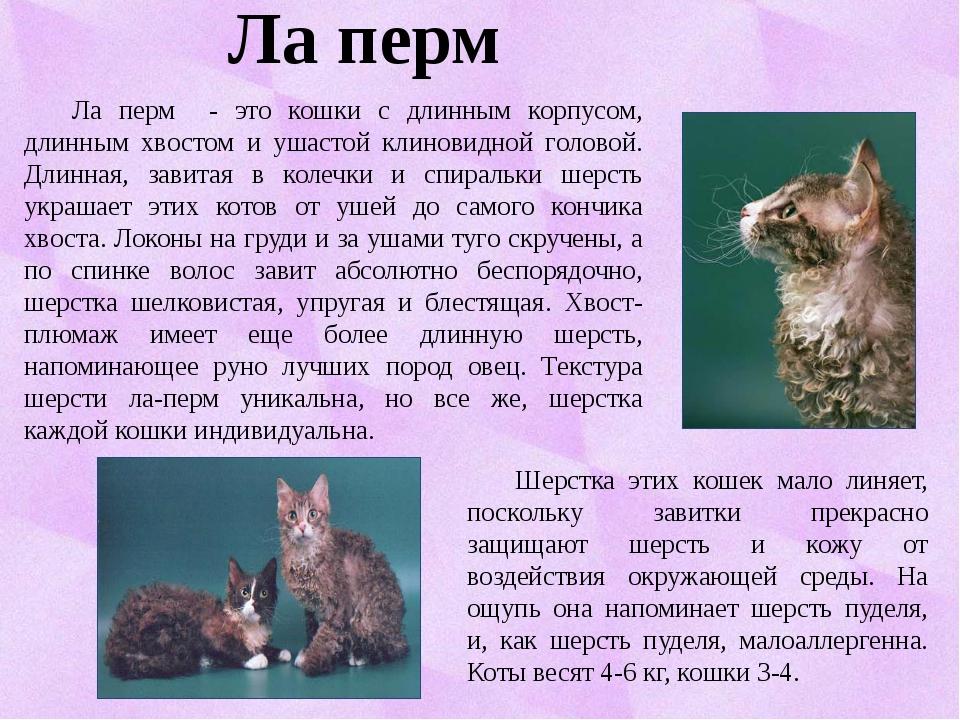 Ла перм Ла перм - это кошки с длинным корпусом, длинным хвостом и ушастой кл...
