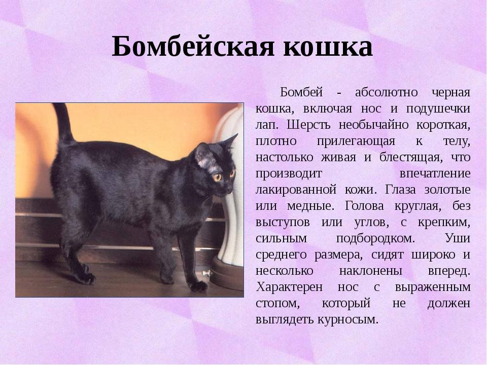 Бомбейская кошка Бомбей - абсолютно черная кошка, включая нос и подушечки ла...