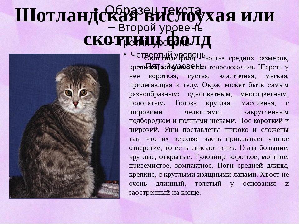 Скоттиш фолд - кошка средних размеров, крепкого, гармоничного телосложения....