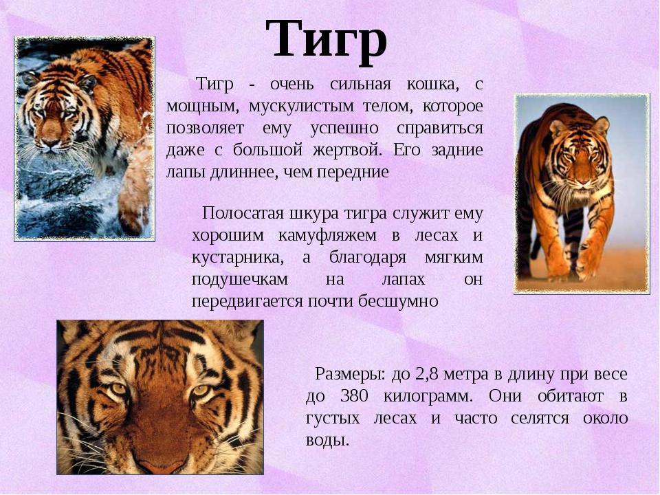 Тигр Размеры: до 2,8 метра в длину при весе до 380 килограмм. Они обитают в г...