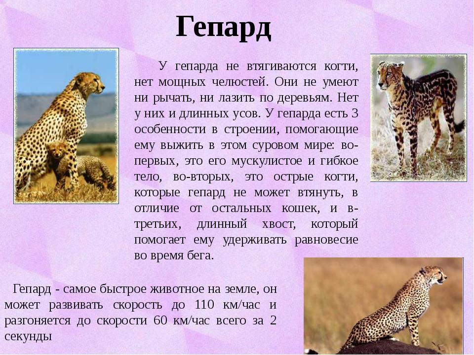 Гепард Гепард - самое быстрое животное на земле, он может развивать скорость...