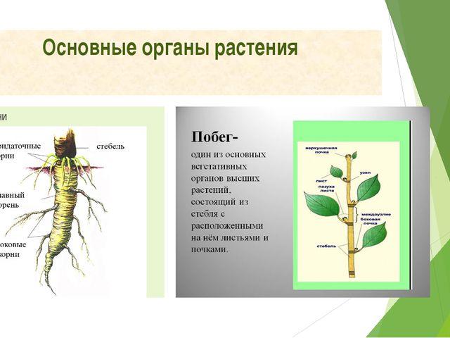 Основные органы растения Корни Побег
