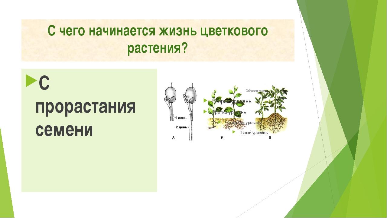 С чего начинается жизнь цветкового растения? С прорастания семени