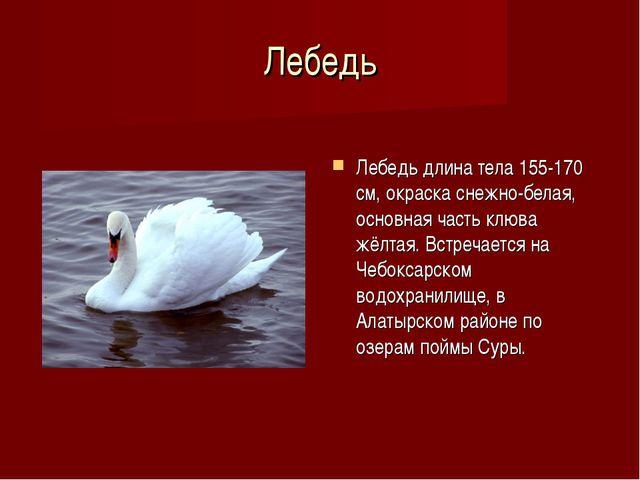 Лебедь Лебедь длина тела 155-170 см, окраска снежно-белая, основная часть клю...