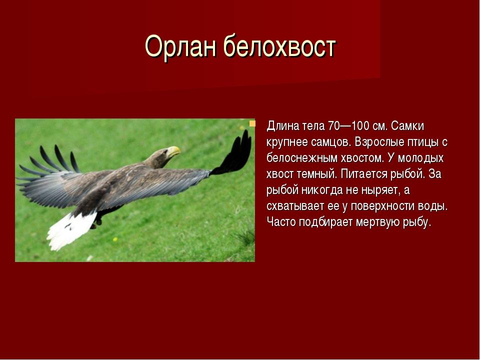 Орлан белохвост Длина тела 70—100 см. Самки крупнее самцов. Взрослые птицы с...