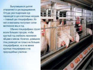 Вылупившихся цыплят отправляют в цех выращивания. Оттуда уже подросших кур