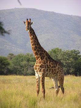 https://upload.wikimedia.org/wikipedia/commons/thumb/9/9f/Giraffe_standing.jpg/265px-Giraffe_standing.jpg