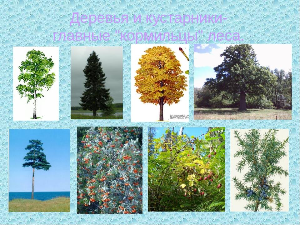 """Деревья и кустарники- главные """"кормильцы"""" леса."""