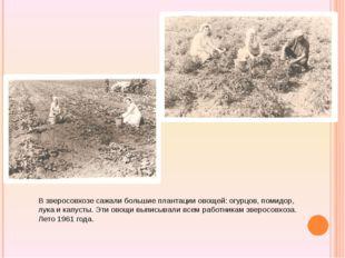 В зверосовхозе сажали большие плантации овощей: огурцов, помидор, лука и кап
