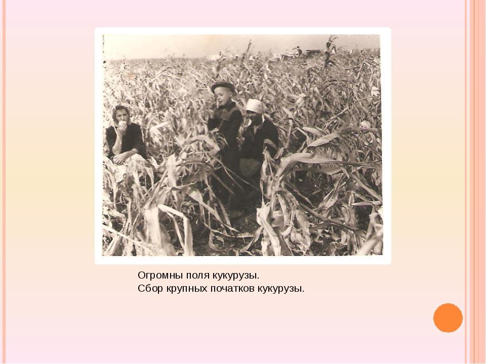 Огромны поля кукурузы. Сбор крупных початков кукурузы.