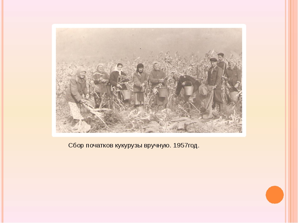 Сбор початков кукурузы вручную. 1957год.