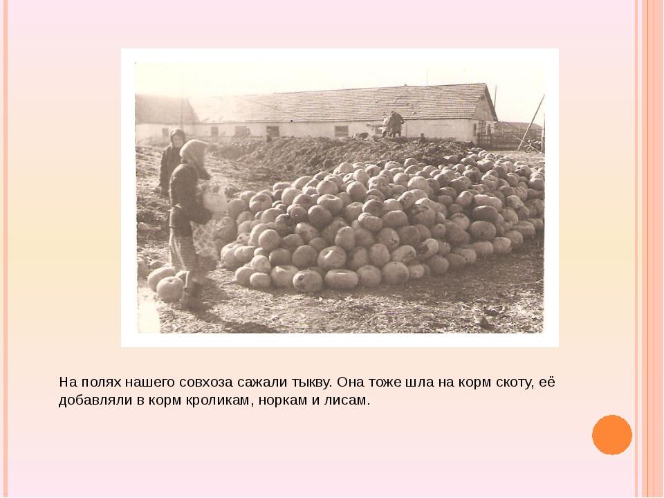 На полях нашего совхоза сажали тыкву. Она тоже шла на корм скоту, её добавля...