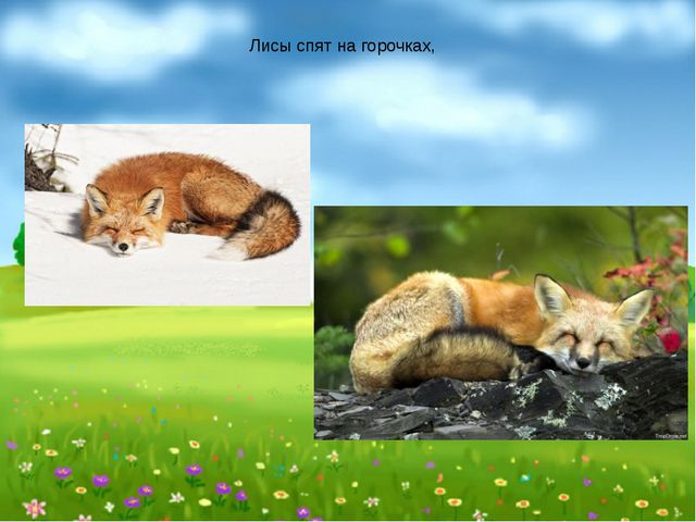 Лисы спят на горочках,