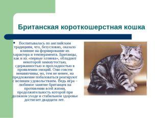 Британская короткошерстная кошка Воспитывалась по английским традициям, что,