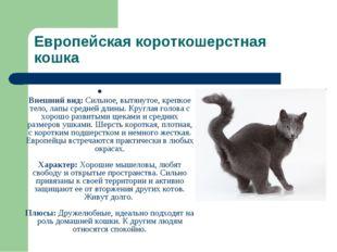 Европейская короткошерстная кошка Внешний вид: Сильное, вытянутое, крепкое те
