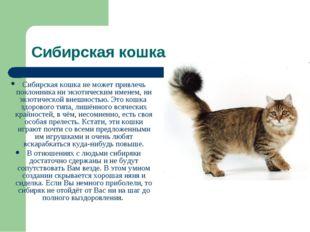Сибирская кошка Сибирская кошка не может привлечь поклонника ни экзотическим
