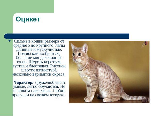 Оцикет Сильные кошки размера от среднего до крупного, лапы длинные и мускулис...
