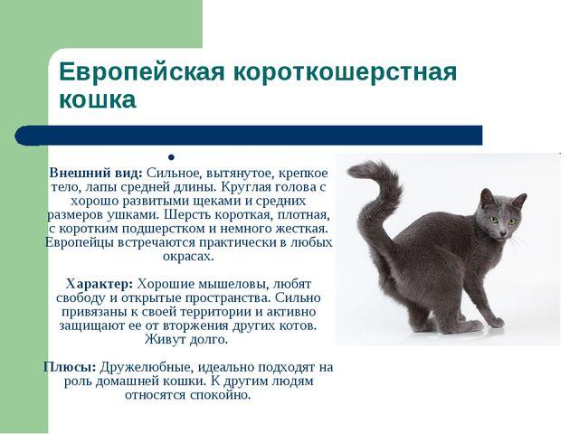 Европейская короткошерстная кошка Внешний вид: Сильное, вытянутое, крепкое те...