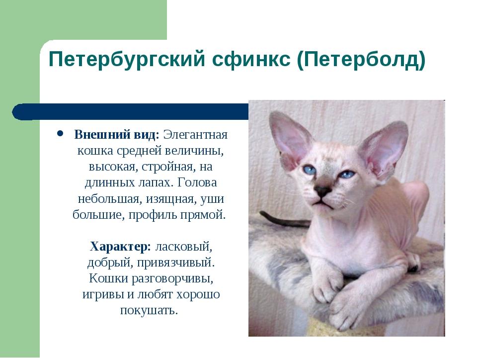Петербургский сфинкс (Петерболд) Внешний вид: Элегантная кошка средней величи...