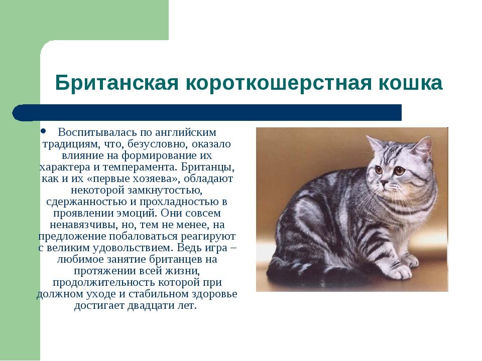 Британская короткошерстная кошка Воспитывалась по английским традициям, что,...