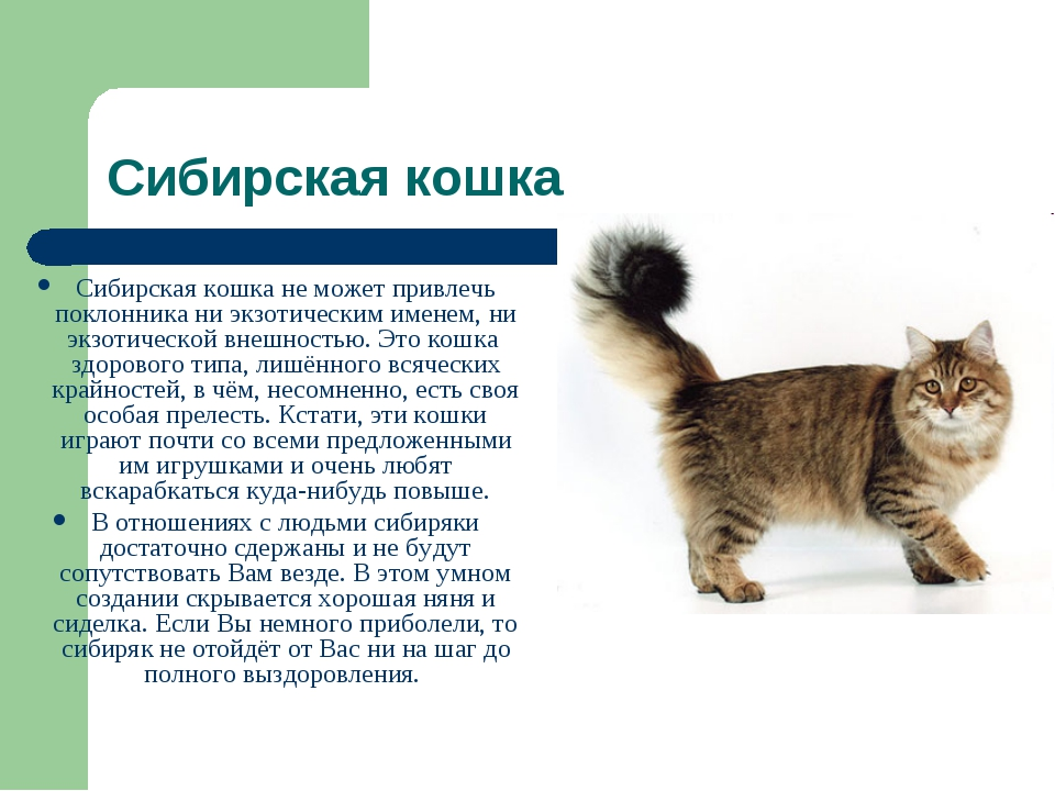 Сибирская кошка Сибирская кошка не может привлечь поклонника ни экзотическим...