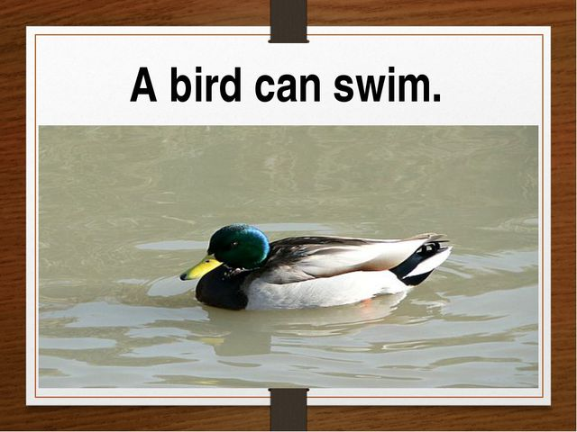 A bird can swim.