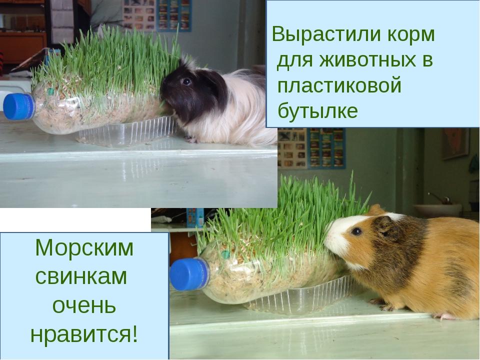 Вырастили корм для животных в пластиковой бутылке Морским свинкам очень нрав...