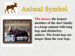 The moose, the largest member of the deer family is a large animal with long