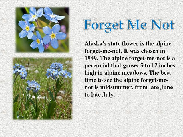 Alaska's state flower is the alpine forget-me-not. It was chosen in 1949. Th...