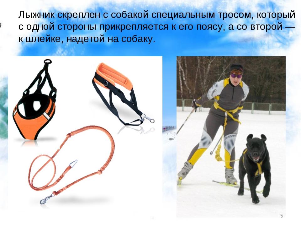 Лыжник скреплен с собакой специальным тросом, который с одной стороны прикреп...