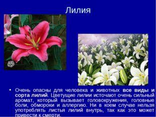 Лилия Очень опасны для человека и животных все виды и сорта лилий. Цветущие л