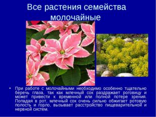 Все растения семейства молочайные При работе с молочайными необходимо особенн