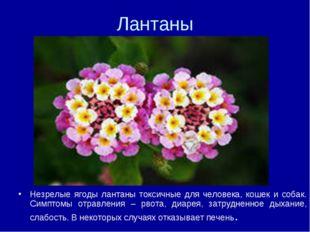 Лантаны Незрелые ягоды лантаны токсичные для человека, кошек и собак. Симптом