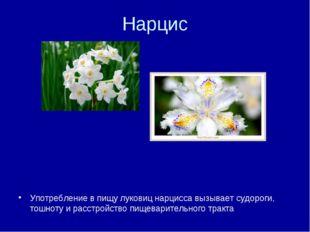 Нарцис Употребление в пищу луковиц нарцисса вызывает судороги, тошноту и расс