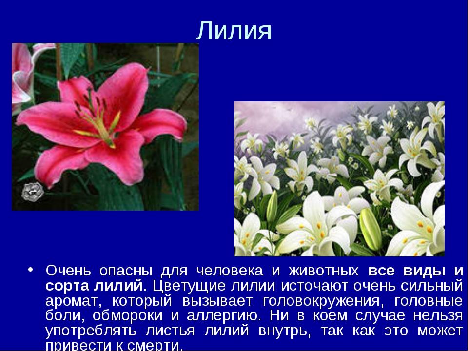 Лилия Очень опасны для человека и животных все виды и сорта лилий. Цветущие л...