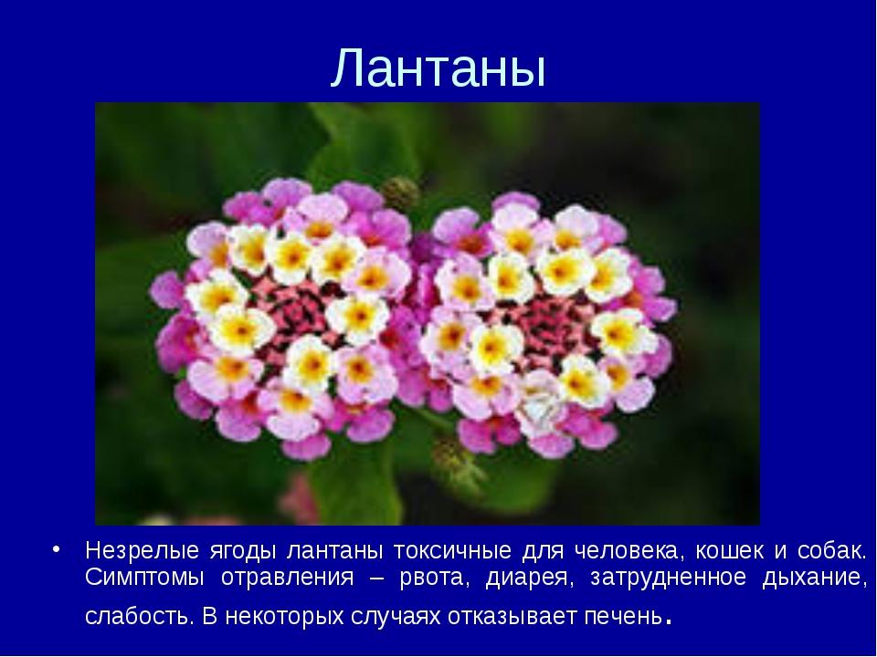 Лантаны Незрелые ягоды лантаны токсичные для человека, кошек и собак. Симптом...