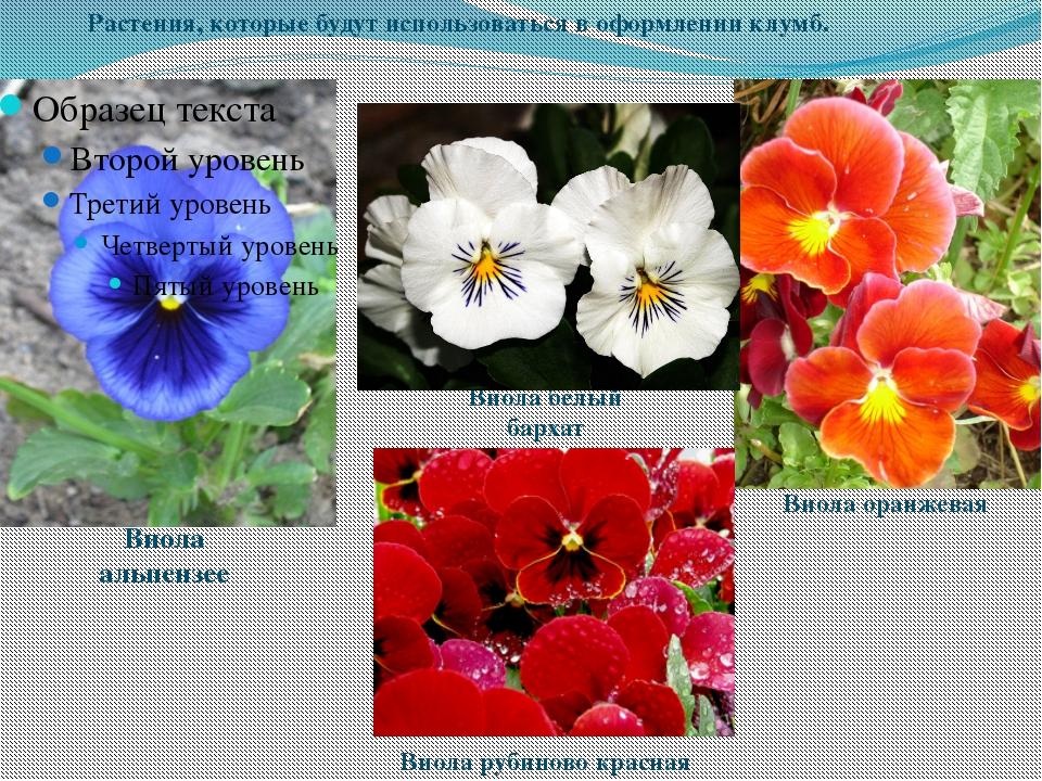 Виола альпензее Виола белый бархат Виола рубиново красная Виола оранжевая Рас...