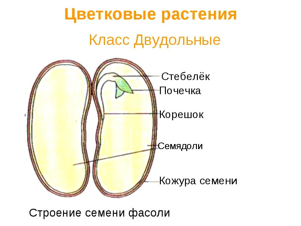 Класс Двудольные Цветковые растения Семядоли Кожура семени Корешок Стебелёк...
