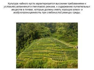Культура чайного куста характеризуется высокими требованиями к условиям увлаж