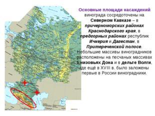 Основные площади насаждений винограда сосредоточены на Северном Кавказе – в п