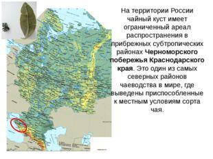 На территории России чайный куст имеет ограниченный ареал распространения в п
