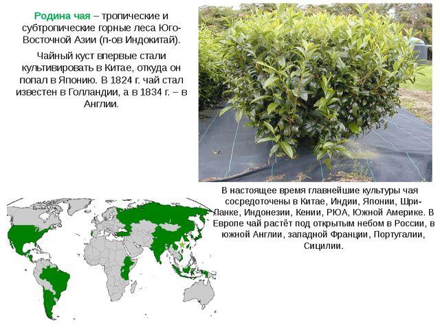 Родина чая – тропические и субтропические горные леса Юго-Восточной Азии (п-о...