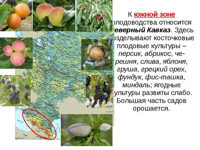 К южной зоне плодоводства относится Северный Кавказ. Здесь возделывают косточ...