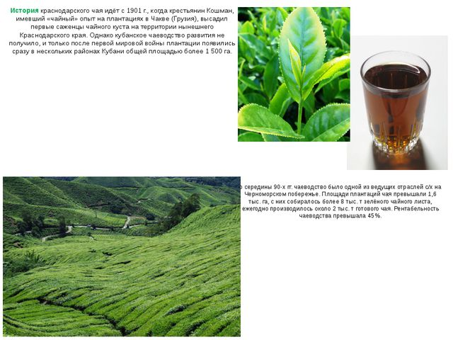 История краснодарского чая идёт с 1901 г., когда крестьянин Кошман, имевший «...