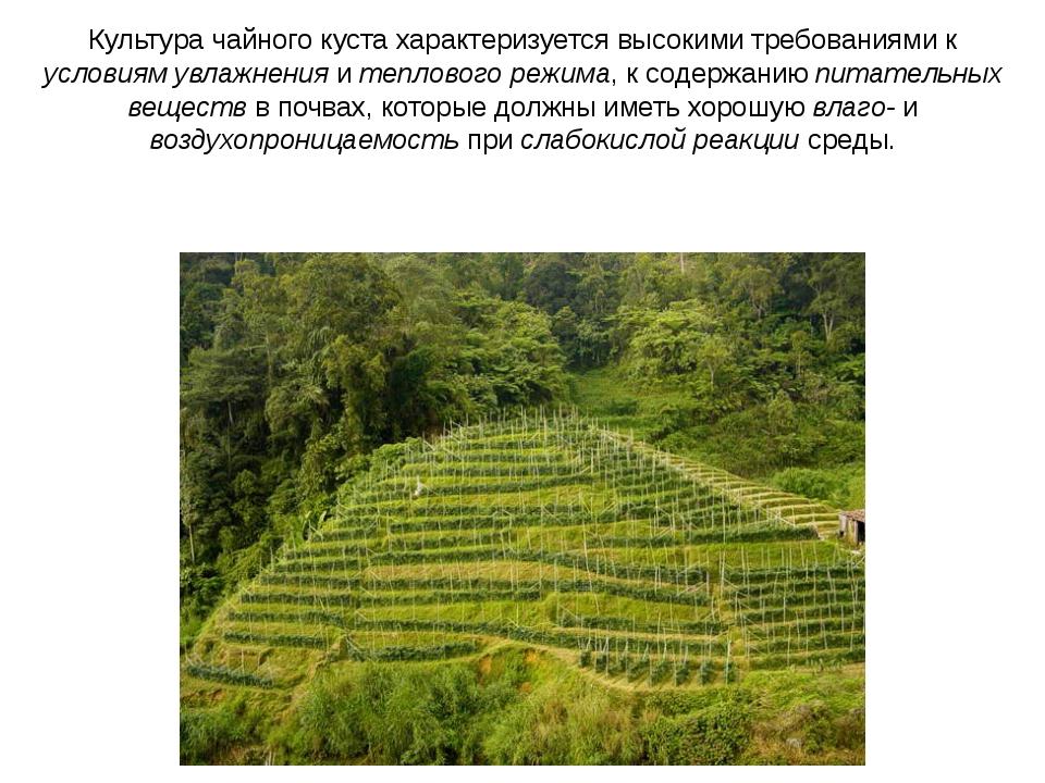 Культура чайного куста характеризуется высокими требованиями к условиям увлаж...