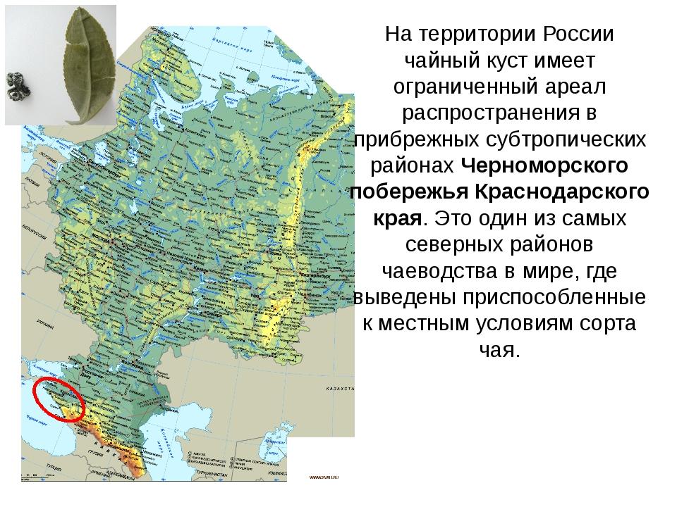 На территории России чайный куст имеет ограниченный ареал распространения в п...
