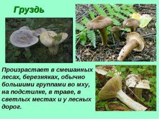 Груздь Произрастает в смешанных лесах, березняках, обычно большими группами в
