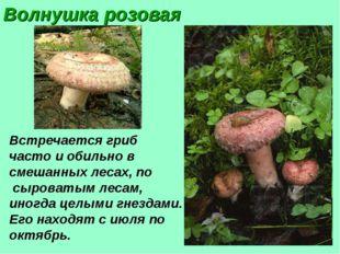 Волнушка розовая Встречается гриб часто и обильно в смешанных лесах, по сыров