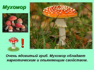 Мухомор Очень ядовитый гриб. Мухомор обладает наркотическим и опьяняющим свой